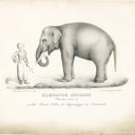 Sofia Giordano - Elefante indiano maschio di 27 anni (1827) litografia di F.Festa - Collezione Simeom (Archivio Storico della Città di Torino)